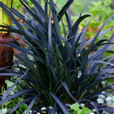 Ophiopogon planiscapus Nigrescens - Black Ornamental Grass Ophiopogon nigra