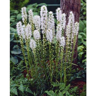 Liatris spicata Alba - White Gay Feather Plants