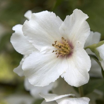Philadelphus Belle Etoile - Mock Orange