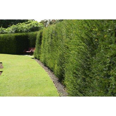 Taxus Baccata - English Yew - Large circa 100cm tall pot grown bushy plants