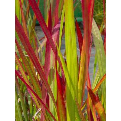 Imperata cylindrica rubra Red Baron - Japanese Blood Grass