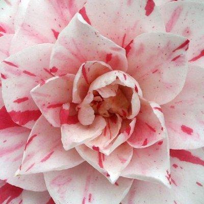 Camellia japonica Bonomiana Nova