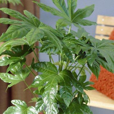 Fatsia Japonica - Japanese Aralia Plants