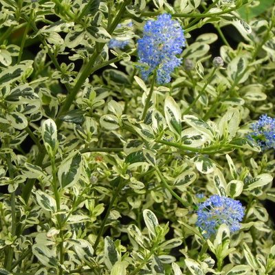 Ceanothus impressus Cool Blue - Hardy Variegated Victoria Ceanothus