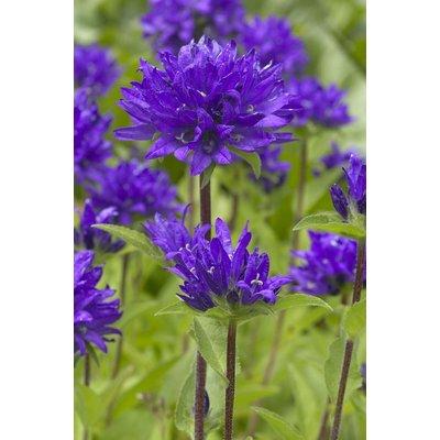 Campanula glomerata Superba - Clustered Bell Flower