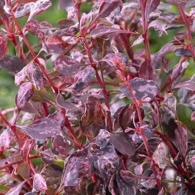 Berberis thunbergii Rose Glow - Barberry