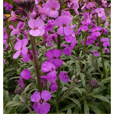 Erysimum Bowles Mauve - Perennial Wallflower - Pack of THREE in Bud & Bloom