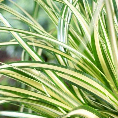 Carex oshimensis Evergold - Japanese Sedge