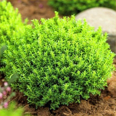 Hebe Emerald Green Globe - Pack of THREE Plants