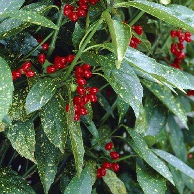 Aucuba japonica Variegata - LARGE - Variegated Spotted Laurel