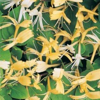 Lonicera japonica Halliana - Japanese Honeysuckle