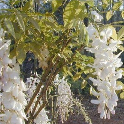 Wisteria sinensis Alba - White - Large Specimen Plant 6ft+
