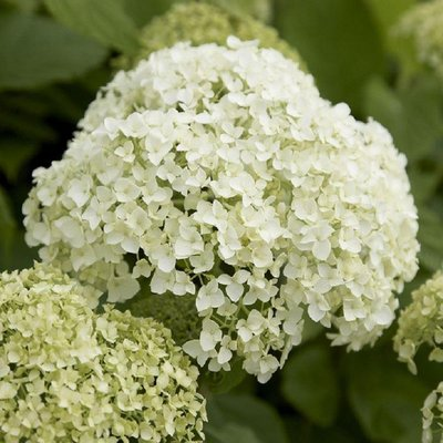 Hydrangea Annabelle - Pack of THREE Large Flowered Hydrangea Plants