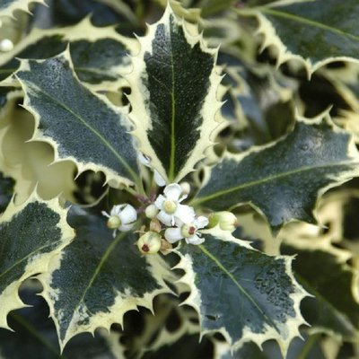Ilex Silver Queen - Silver Variegated Male Holly