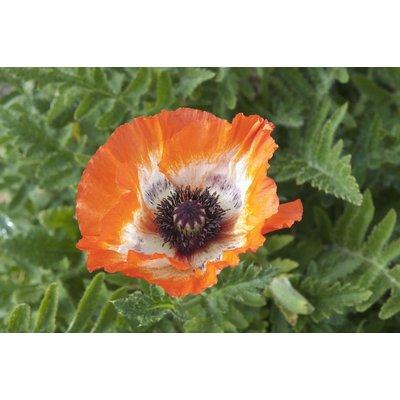 Papaver orientale Picotee - Oriental Poppy