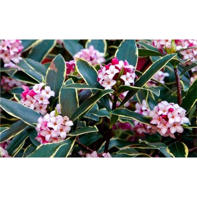 Daphne odora Aureomarginata - Fragrant Hardy Evergreen Shrub
