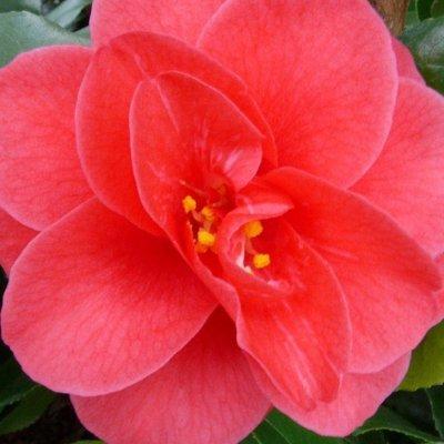 Camellia Mary Williams