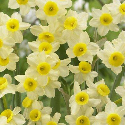 Narcis Minnow - Daffodil