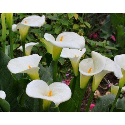 Calla - Zantedeschia aethiopica - Hardy White Calla Arum Lily - Pack of One