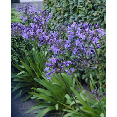 Agapanthus Delft Blue - Stunning Huge Football Sized Flower Heads