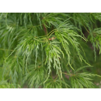 Weeping Acer Japanese Maple Tree - Dissectum Emerald Lace