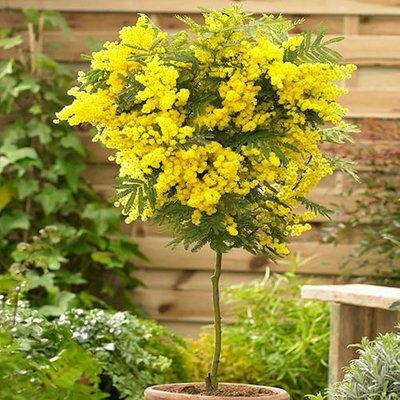 Acacia dealbata - Mimosa Tree Patio Standard