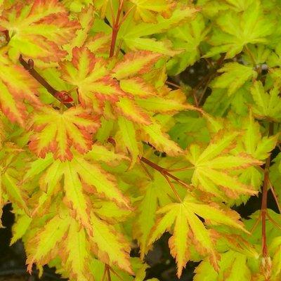 Acer palmatum Annie Irene - Japanese Maple
