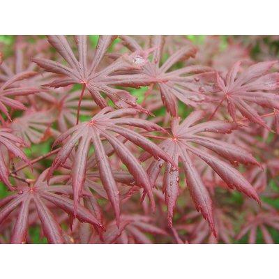 Red Japanese Maple Tree - Acer palmatum Trompenburg