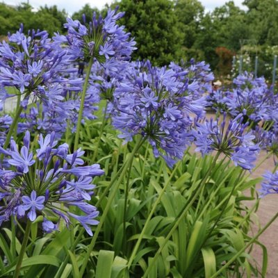 Agapanthus africanus Blue Umbrella - Blue Lily of the Nile