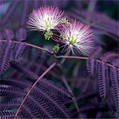 Albizia julibrissin Summer Chocolate - Purple Silk Tree Albizzia - 150-200cms