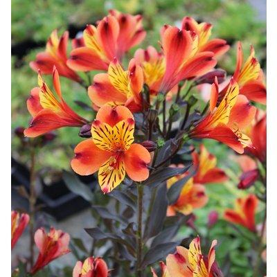 Alstroemeria Indian Summer - Hardy Peruvian Lily