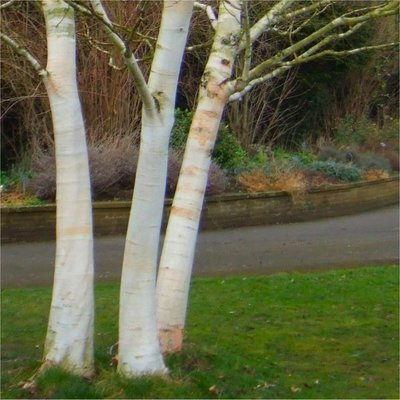 Betula utilis jacquemontii - West Himalayan Birch Tree - Large 240 to 280cms Specimen