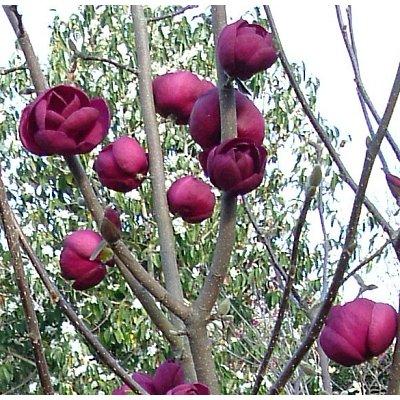 Magnolia Black Tulip - RARE Deep Purple-Black Flowering Tulip Tree - LARGE 180cm SPECIMEN