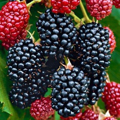 Blackberry - Rubus fruticosus Thornfree - Thornless Blackberry