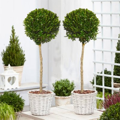PAIR of Large Topiary Evergreen Buxus Lollipop Standard Trees - Stylish Contemporary Box Ball Lollipop Trees