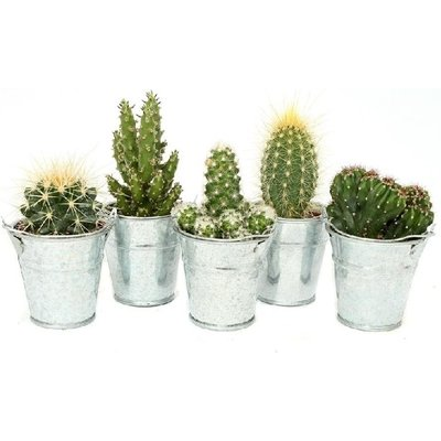 Collection of Cacti in Zinc buckets - THREE different Cactus Plants