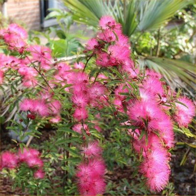 Calliandra Dixie Pink - Surinam Powder Puff Tree