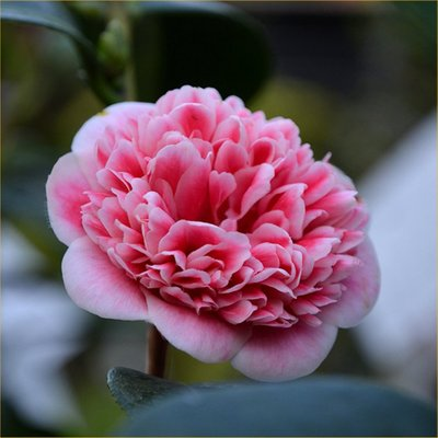 Camellia japonica Volunteer - Exquisite Large Flowered Evergreen in Bud