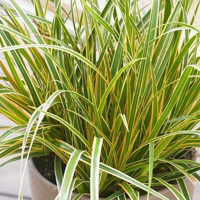 Carex oshimensis Evercolour