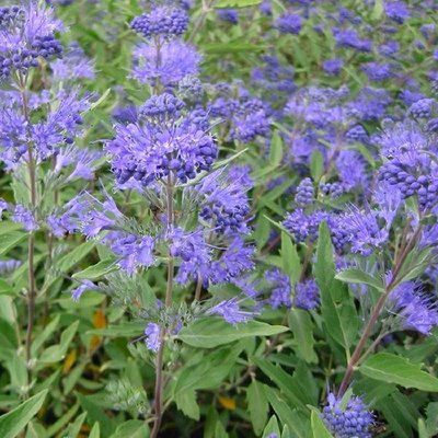 Caryopteris x clandonensis Heavenly Blue - Bluebeard