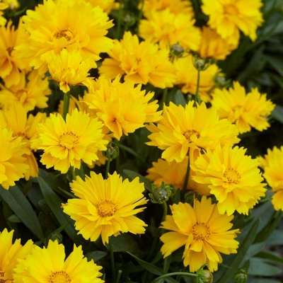 Coreopsis Fields of Gold - Pack of THREE Plants