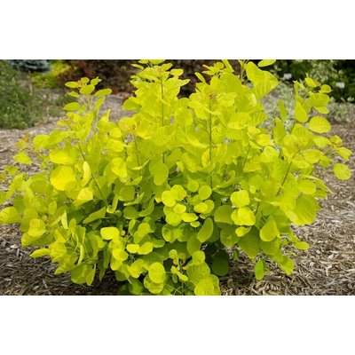 Cotinus coggygria Golden Spirit - Smoke Bush