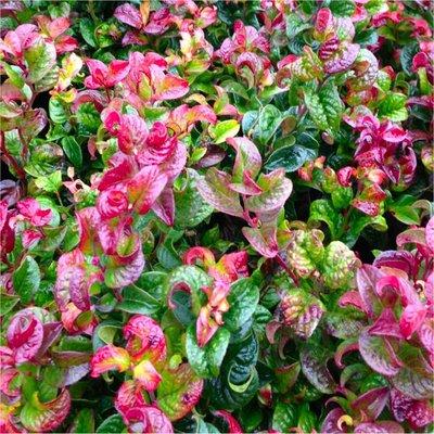 Leucothoe axillaris Curly Red - Unique Twisted Evergreen Foliage