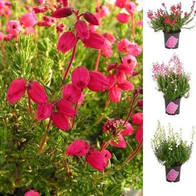 Daboecia cantabrica - Irish Princess Heather in Bud & Bloom - Pack of THREE Gorgeous Plants