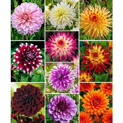 Premium varieties Dahlia Collection - Special Decorative Mix - Pack of TEN