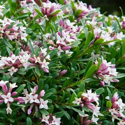 Daphne x transatlantica Eternal Fragrance - Fragrant Evergreen Daphne