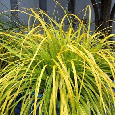 Carex oshimensis Evercolour� ��Everillo�� - Evergreen Japanese Sedge