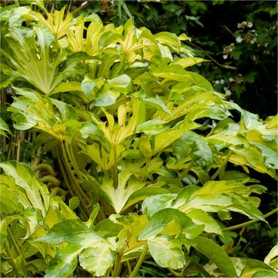 Fatsia japonica Annelise - Golden variegated