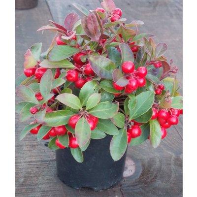 Gaultheria procumbens - Partridge Berry ground cover Shrub - Pack of THREE Plants