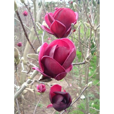 Purple-Black Magnolia Genie